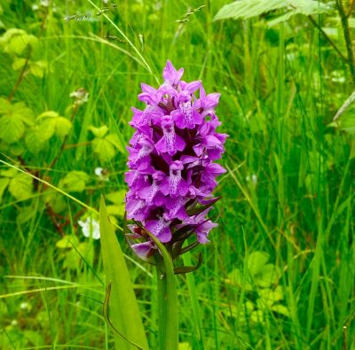 wild orchid on manchester ship canal